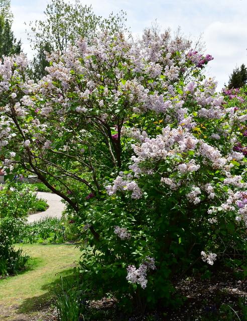 Syringa vulgaris_Lilac_DBG-CO_LAH_8726