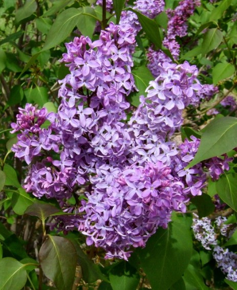 Syringia vulgaris - Lilacs @ BlackForest 2007may21 LAH 001