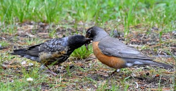 American Robin feeding juv_YellowstoneNP-WY_LAH_2538