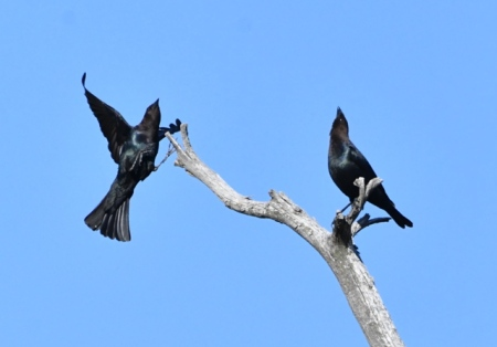 Brown-headed Cowbird males, displaying