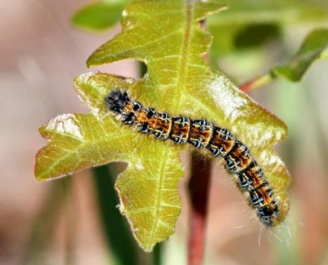 Mourning Cloak larva