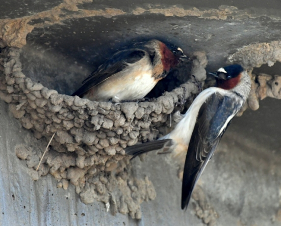 Cliff Swallow_AlamosaNWR-CO_LAH_9718