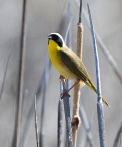 Common Yellowthroat_AlamosaNWR-CO_LAH_0436