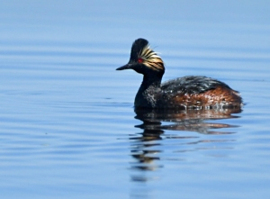 Eared Grebe_AlamosaNWR-CO_LAH_0501