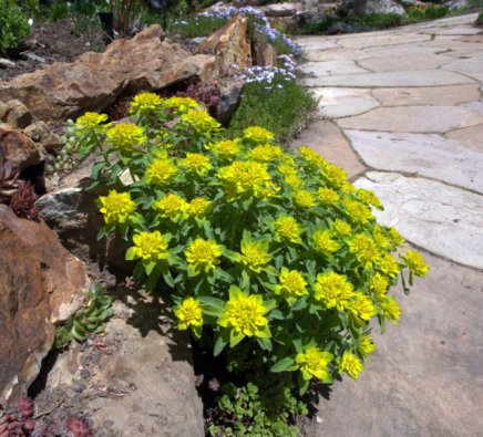Cushion Spurge, Euphorbia polychroma