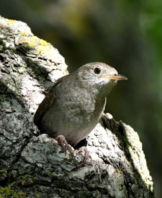 House Wren emerging from nest cavity