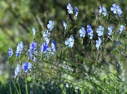 Blue Flax, Linum perenne