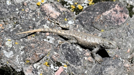Prairie Lizard species