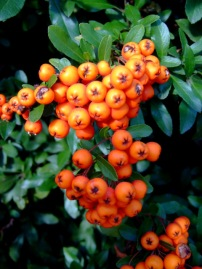 Firethorn, Pyracantha sp.