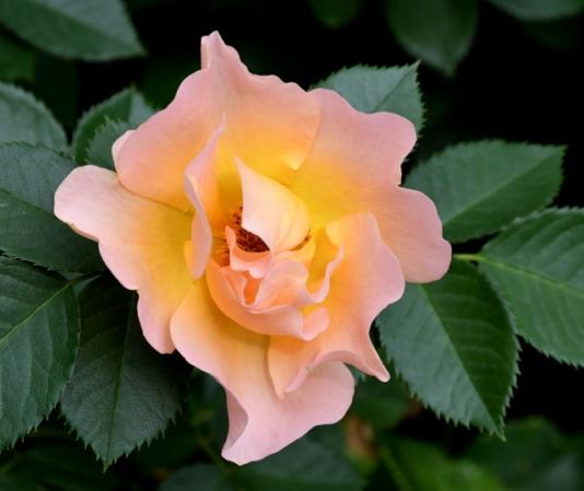 Rosa hyb_Roses_Boulder-CO_LAH_9508
