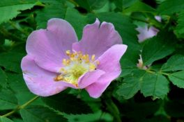 Rosa woodsii, Woods Rose