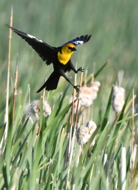 Yellow-headed Blackbird_AlamosaNWR-CO_LAH_9901