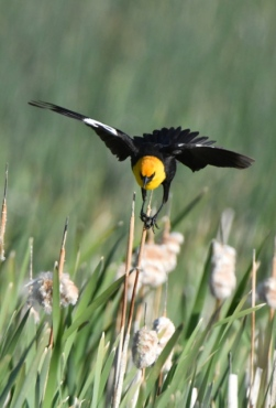Yellow-headed Blackbird_AlamosaNWR-CO_LAH_9929