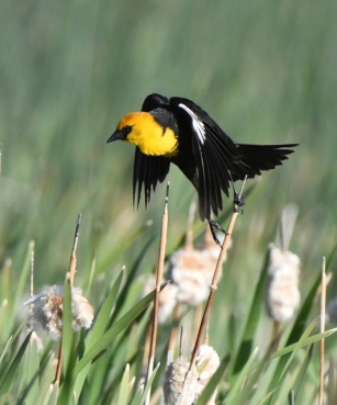 Yellow-headed Blackbird_AlamosaNWR-CO_LAH_9950