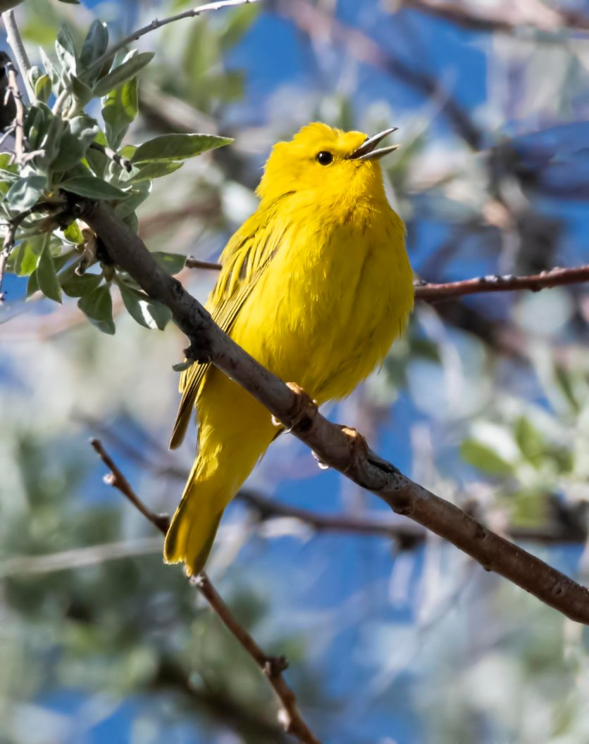 Yellow Warbler_Alamosa-CO_LAH_1104rf