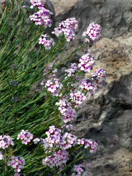 Aethionema schistosum - Persian Stonecress @DBG LAH 284r