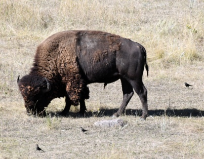 Bison & Brown-headed Cowbirds_WindCaveNP-SD_LAH_7007