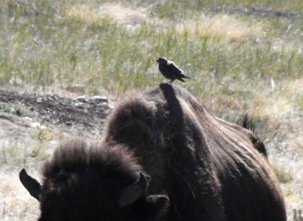 Bison & Brown-headed Cowbirds_WindCaveNP-SD_LAH_7090