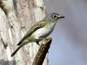 Blue-headed Vireo_CorkscrewSwamp-FL_LAH_6115