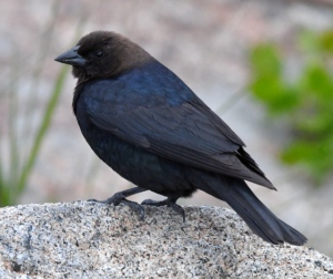 Brown-headed Cowbird_YellowstoneNP-WY_LAH_2636