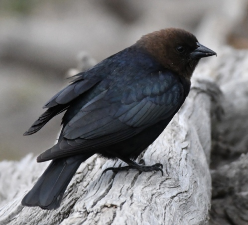 Brown-headed Cowbird_YellowstoneNP-WY_LAH_2663