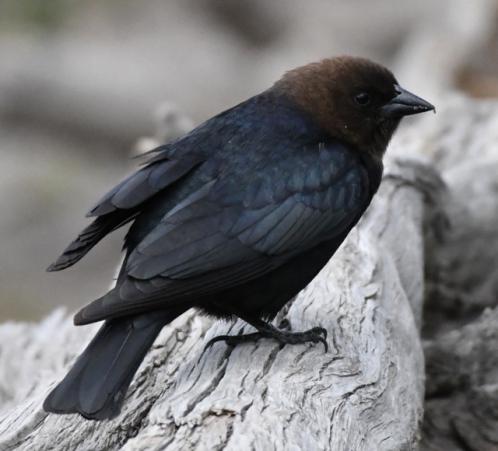 Brown-headed Cowbird_YellowstoneNP-WY_LAH_2663