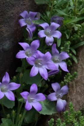 Dalmation Bellflower, Campanula portenschlagiana