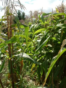 Corn @Tacoma LAH