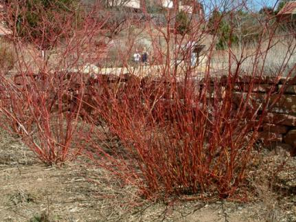 Cornus stolonifera - Red Twig Dogwood dormant @XG LAH