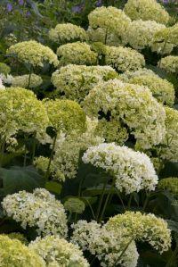 Hydrangea arborescens 'Annabelle'_Tree Hydrangea_DBG-CO_LAH_0187r