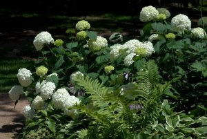 Hydrangea_HAS Demo-ColoSpgs-CO_LAH_2229