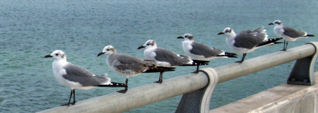 LaughingGulls Lineup @Florida Keys 1jan08 LAH 970
