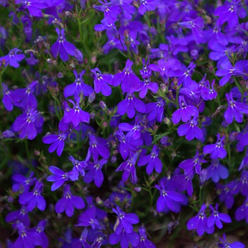 Annual Lobelia, Lobelia erinus