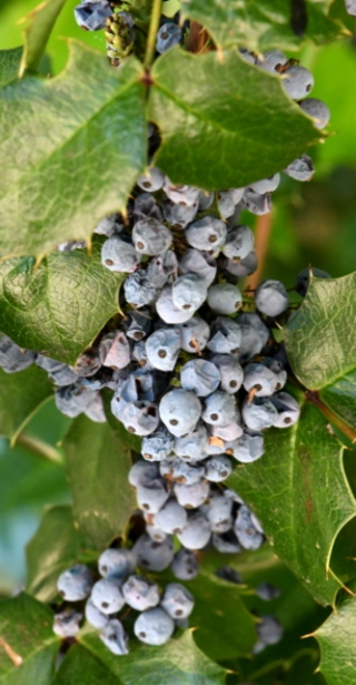 Oregon Grape-holly, Mahonia repens