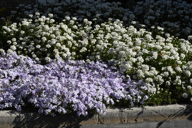 Phlox subulata_Creeping Phlox & Iberis sempervirens_Candytuft_DBG-CO_LAH_6590