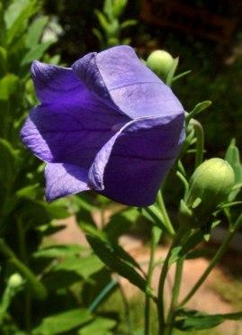 Balloon Flower, Platycodon grandiflorus