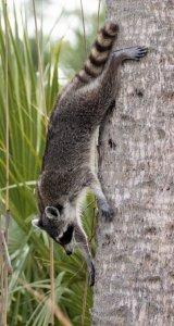 Raccoon_CorkscrewSwamp-FL_LAH_6836r