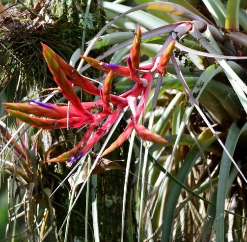 Cardinal Air Plant, Tillandsia fasciculata