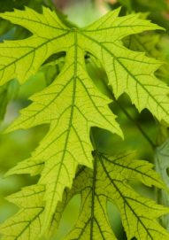 1-Chlorosis on maple_HighlandsRanch-CO_LAH_7764r