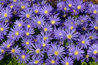 Windflower (Anemone blanda)