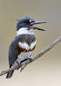 Belted Kingfisher_FCNC-CO_LAH_1319f