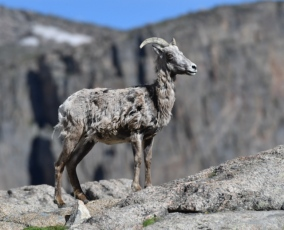 Bighorn Sheep_SummitLakeMtEvans-CO_LAH_5760