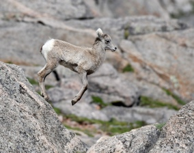 Bighorn Sheep_SummitLakeMtEvans-CO_LAH_5838