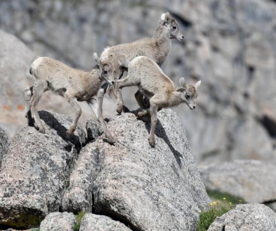 Bighorn Sheep_SummitLakeMtEvans-CO_LAH_5857