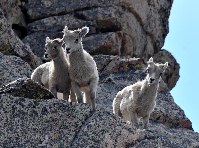 Bighorn Sheep_SummitLakeMtEvans-CO_LAH_5935