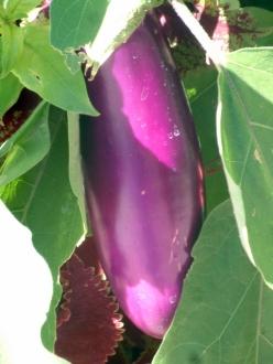 Eggplant_LAH 230