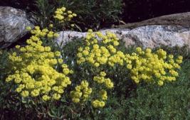 Sulfur Buckwhet
