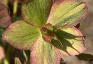 Helleborus orientalis_Lenten Rose_PtDefiancePark-Tacoma-WA_LAH_0580