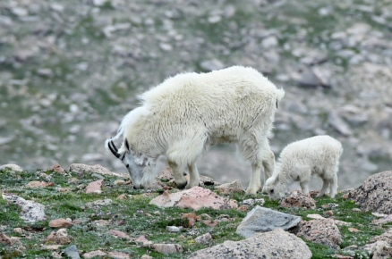 Mountain goat_MtEvans-CO_LAH_5720