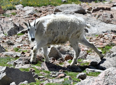 Mountain Goat_MtEvans-CO_LAH_6041